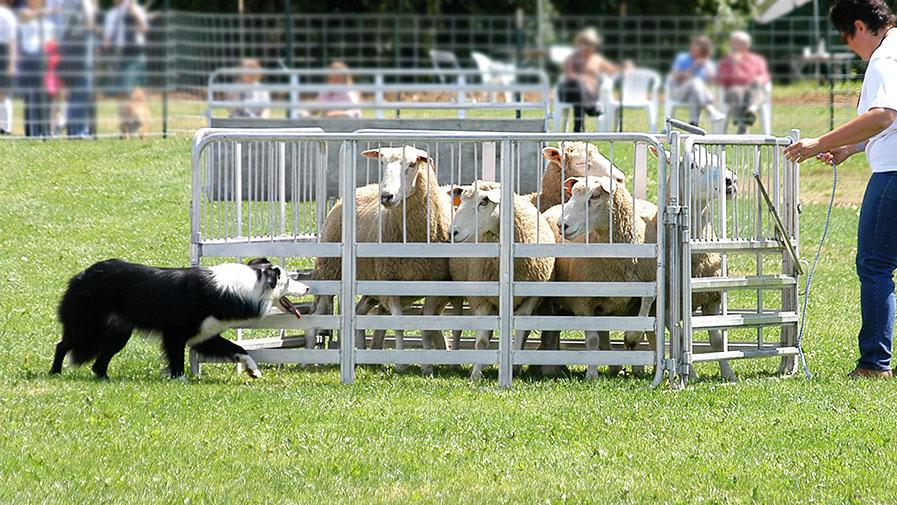 Sheep Dog 4962